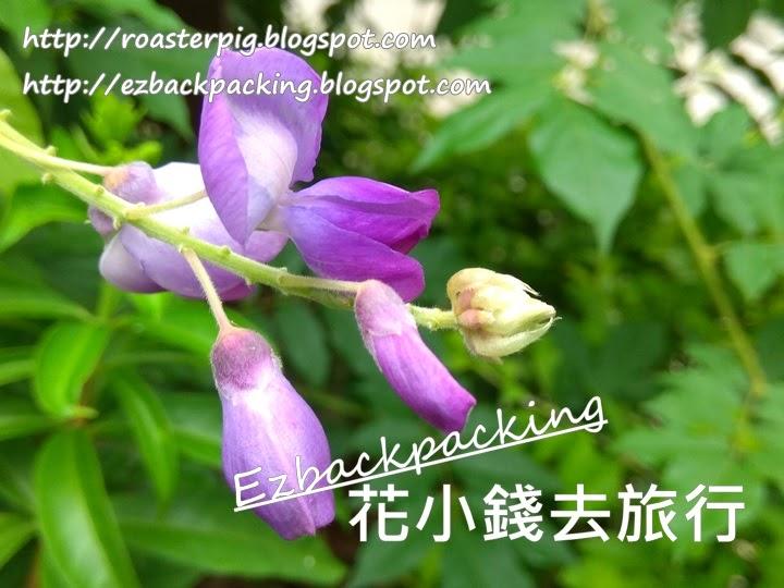 屯門楊小坑錦簇花園紫藤花