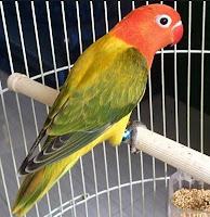 Jenis Dari Burung Lovebird Euwing