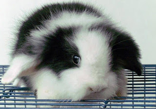jenis kelinci lop