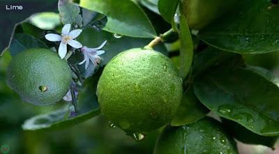 lime fruit; lime