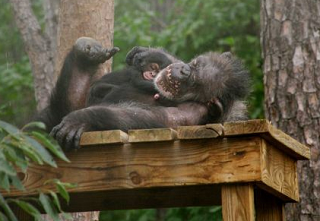 Ginger, 42-year-old chimpanzee with surprise pregnancy
