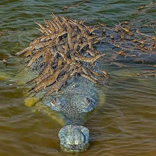 Com 100 filhotes o corcodrilo gavial macho (Gavialis gangeticus) nada numm rio no norte da Índia