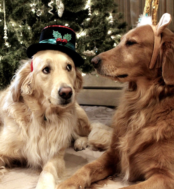 golden retriever dogs dressed up in front of Christmas tree #wordlesswednesday