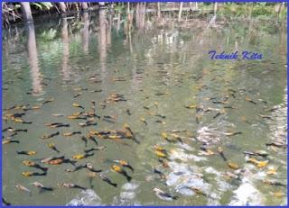 Ternak ikan molly di kolam