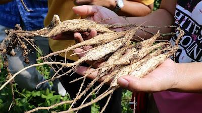 """ราชบุรี - """"รากถั่วพูต้ม"""" อาหารพื้นถิ่น 1 ปี มีแค่ครั้งเดียว"""