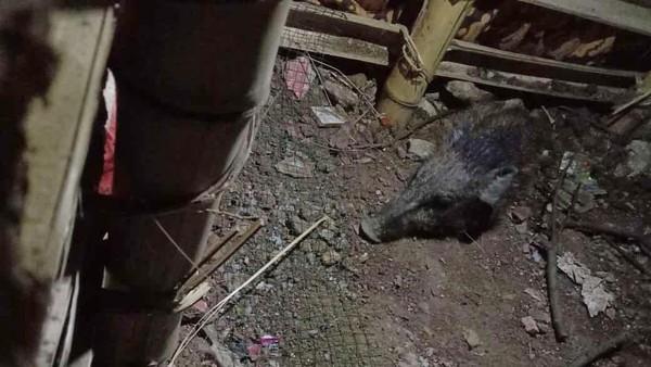 Heboh Babi Ngepet di Depok Ditangkap Warga Bugil!