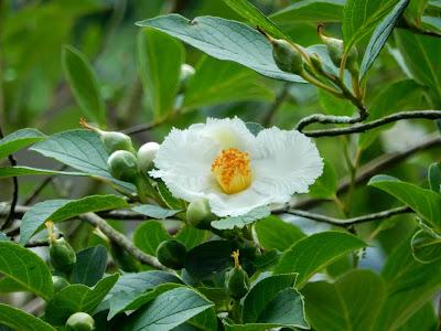 明月院の沙羅双樹