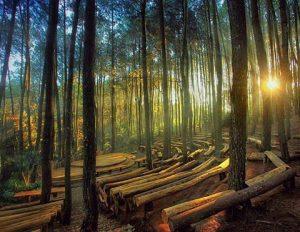 Sewa Mobil Jogja ke Hutan Pinus Mangunan