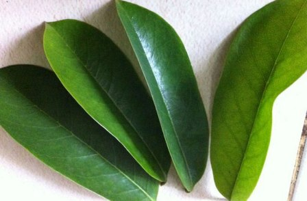 Kandungan daun sirsak dan manfaatnya untuk kesehatan