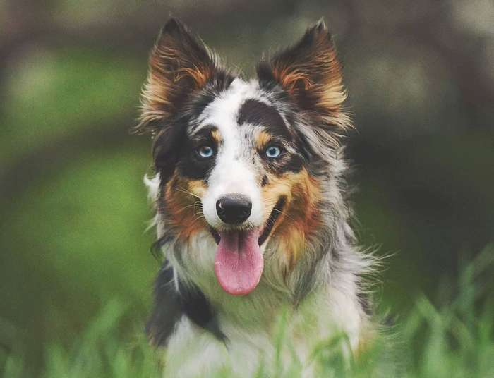 The Smartest Dog in The World is The Border Collie