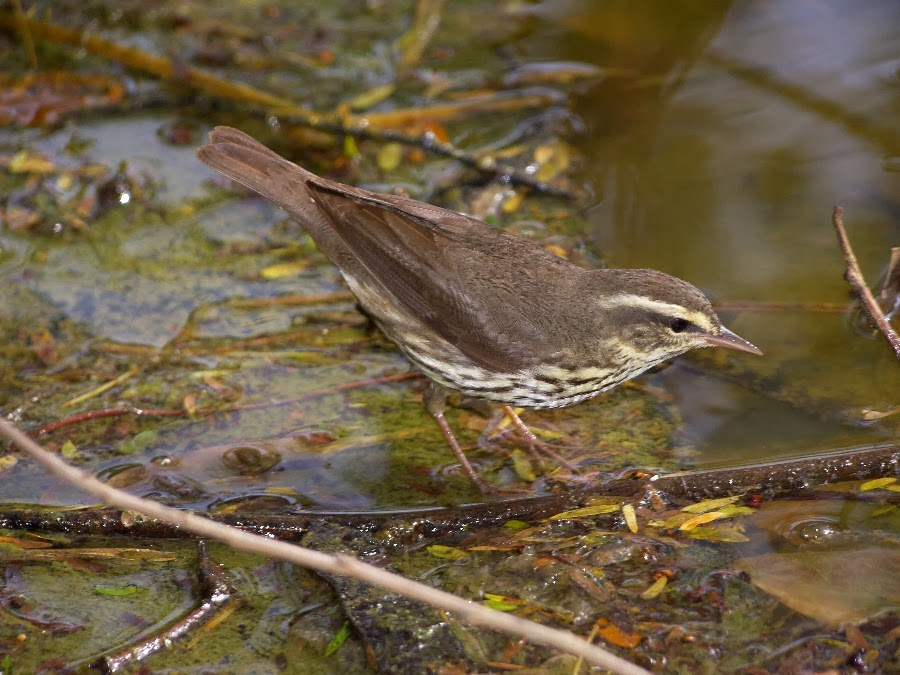 Northern Waterthrush Parkesia noveboracensis