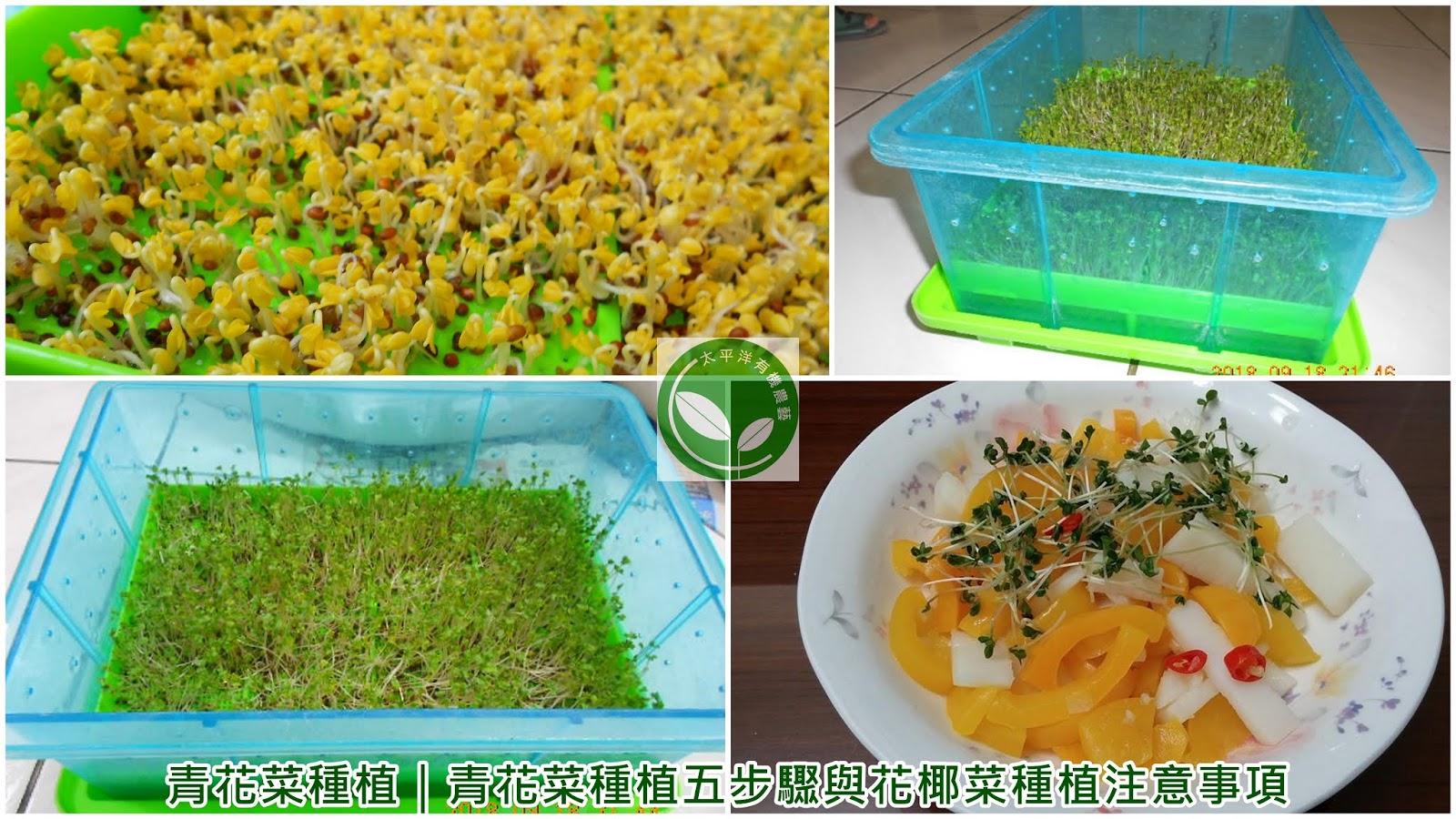花椰菜種植紀錄,綠花椰營養,西蘭花,青花菜種植,青花菜種植方法,青花菜,青花椰菜種植,綠花椰,綠花椰菜,西蘭花椰菜花
