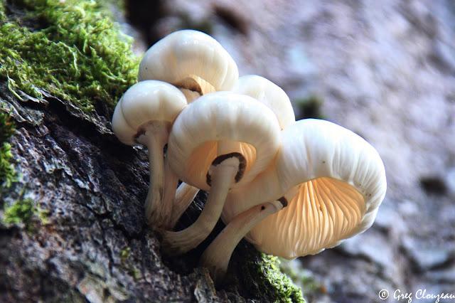De tous les champignons qui poussent sur les troncs de hêtres, ces délicats parachutes blancs sont sans doute les plus beaux