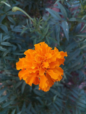 The flower of Marigold