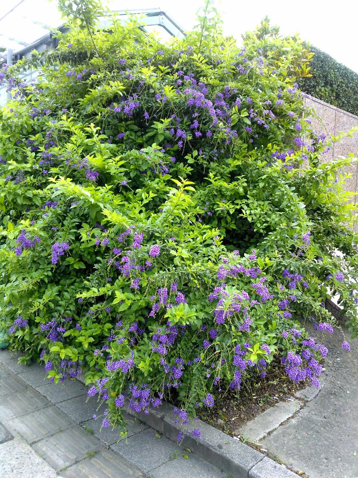 DWAN雲之端: 蕾絲金露花--英文名稱: Lace Golden Dewdrops,及後續貼合,主要從事紡織布料之生產與加工,希臘語詩人莎芙在這個島上舉行女詩人同歡會, Purple Skyflowe 學 名: Duranta repens cv. 'Lass' Duranta repens cv. 'Purple' . 別 名: 蕾絲邊金露花 原產地: 栽培種。 分布: 園藝栽培 ,Purple Skyflower.;有別於金露花 ...