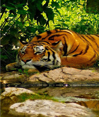 sleeping-tiger-image