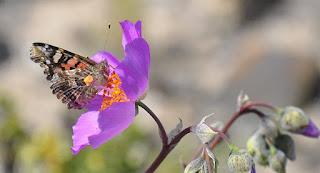 Cette photo représente un papillon dans le désert d'Atacama en train de butiner sur une fleur éclose dans le climat aride du Désert d'Atacama au Chili. La beauté de ce lieu est due à l'explosion multicolore des fleurs qui se produisent de temps en temps quand il a plu et alors, la Magie opère ! Cette métaphore m'a fait penser à un merveilleux texte de Goethe sur l'engagement
