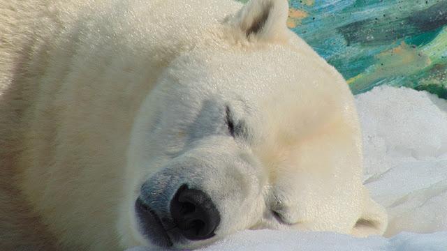 """""""Murió como un héroe"""": Pierde la vida al enfrentarse a un oso polar para proteger a sus tres hijos"""