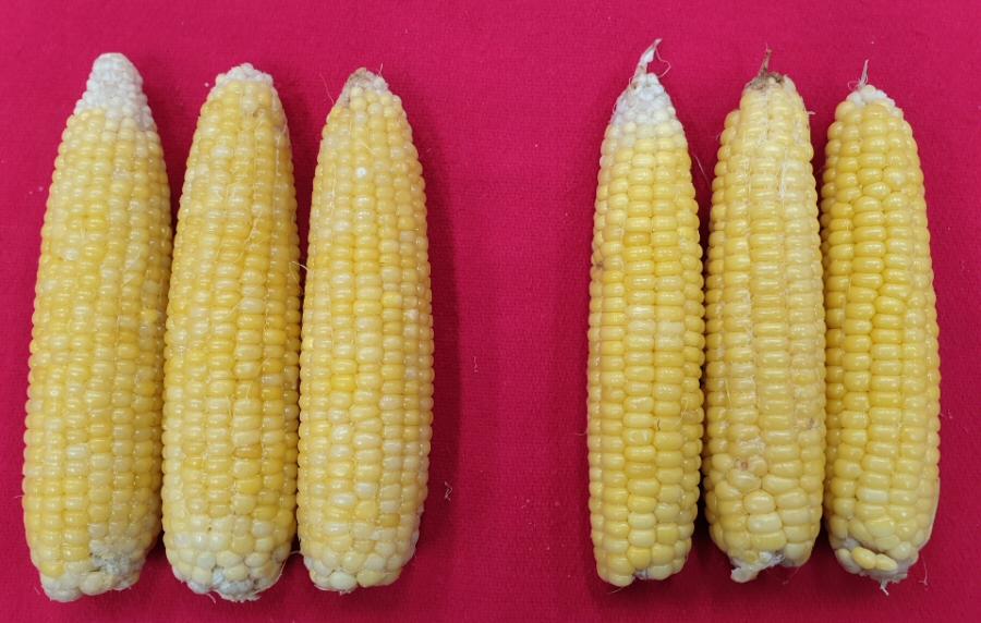 단옥수수, 중부지역에서 7월 20일 심어 10월 초 수확 성공