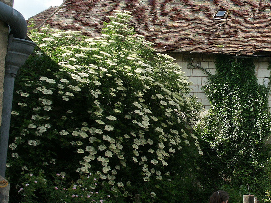 Elder Sambucus niger in an overgrown garden.  Indre et Loire, France. Photographed by Susan Walter. Tour the Loire Valley with a classic car and a private guide.