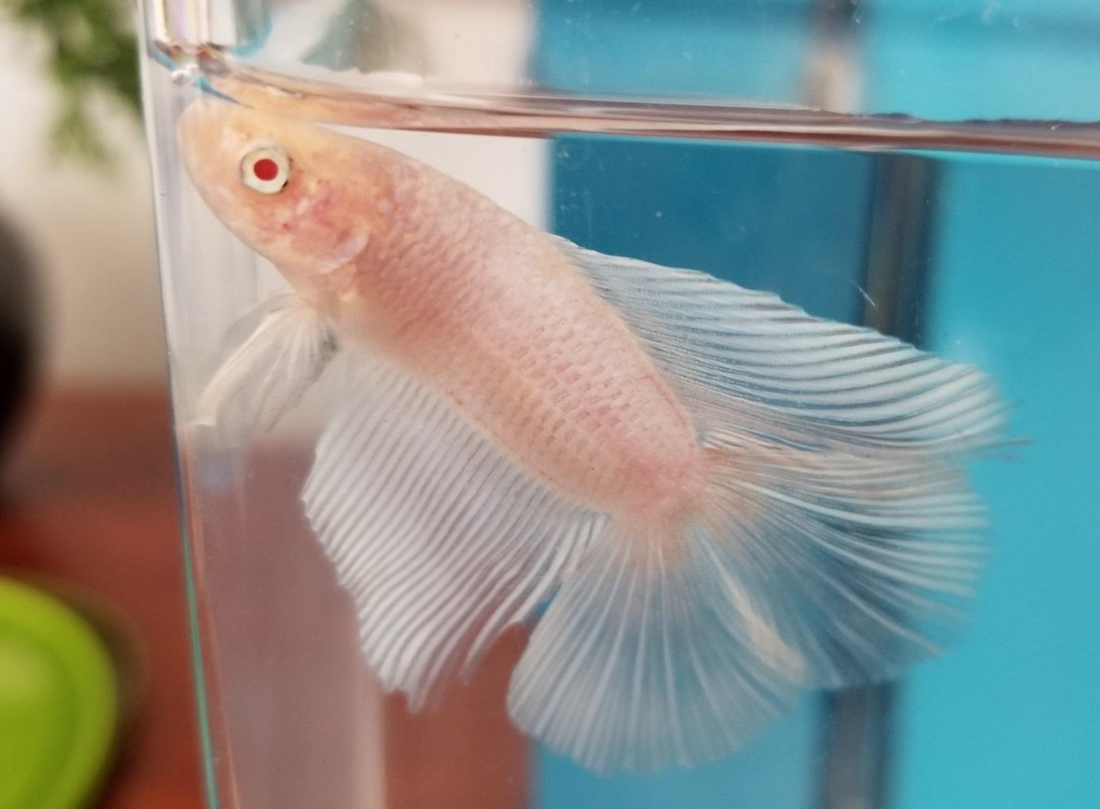 Ikan Cupang Albino - Albino Betta - Ikanhiasku.net