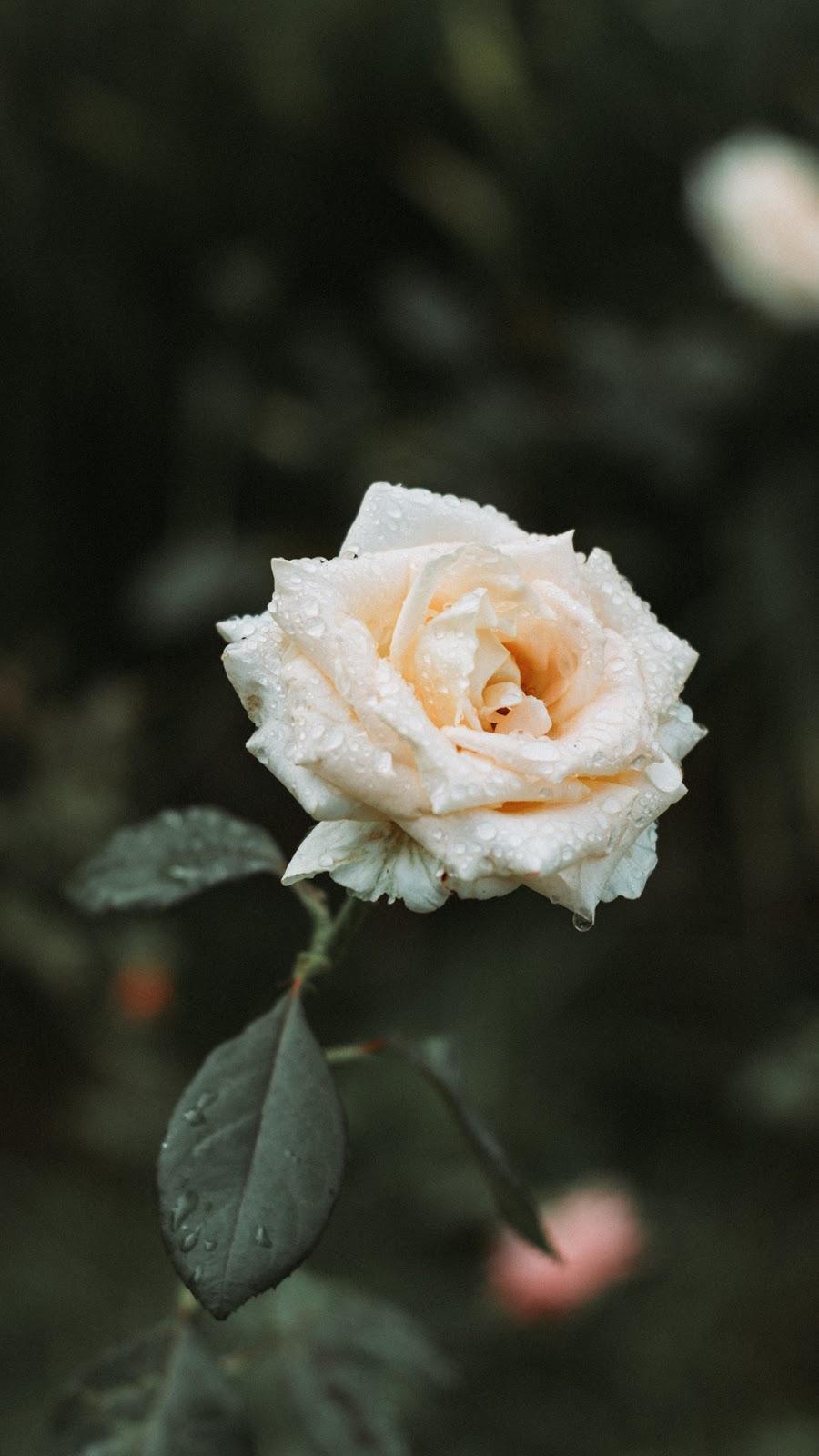 Hình nền hoa hồng trắng