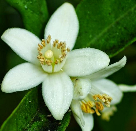 manfaat bunga jeruk neroli, neroli oil benefits, neroli essential oil benefits, neroli perfume, neroli essential oil, patchouli, neroli oil for skin, petitgrain, neroli by nagore