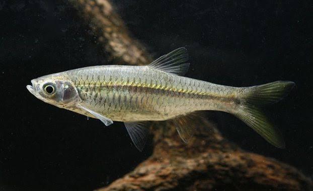 Ikan saluang kalimantan