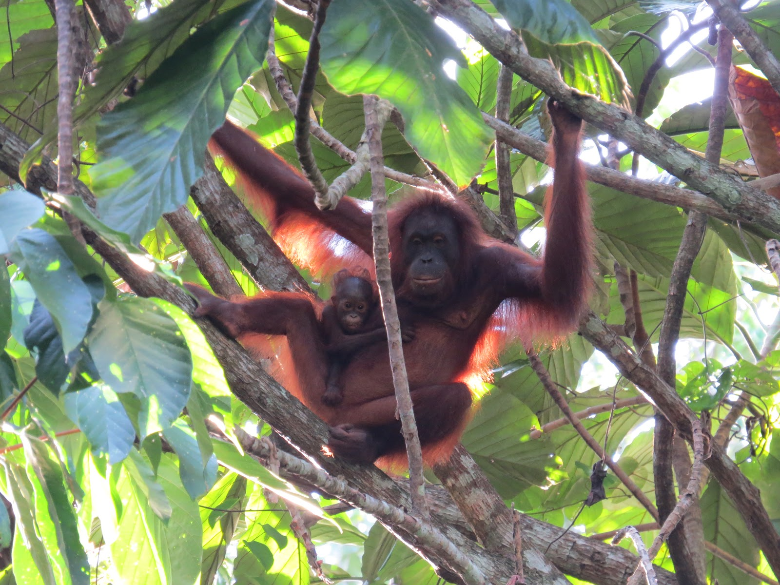 Out on a limb: Unlikely collaboration boosts orangutans in Borneo