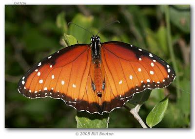 Mariposa reina (Danaus gilippus)