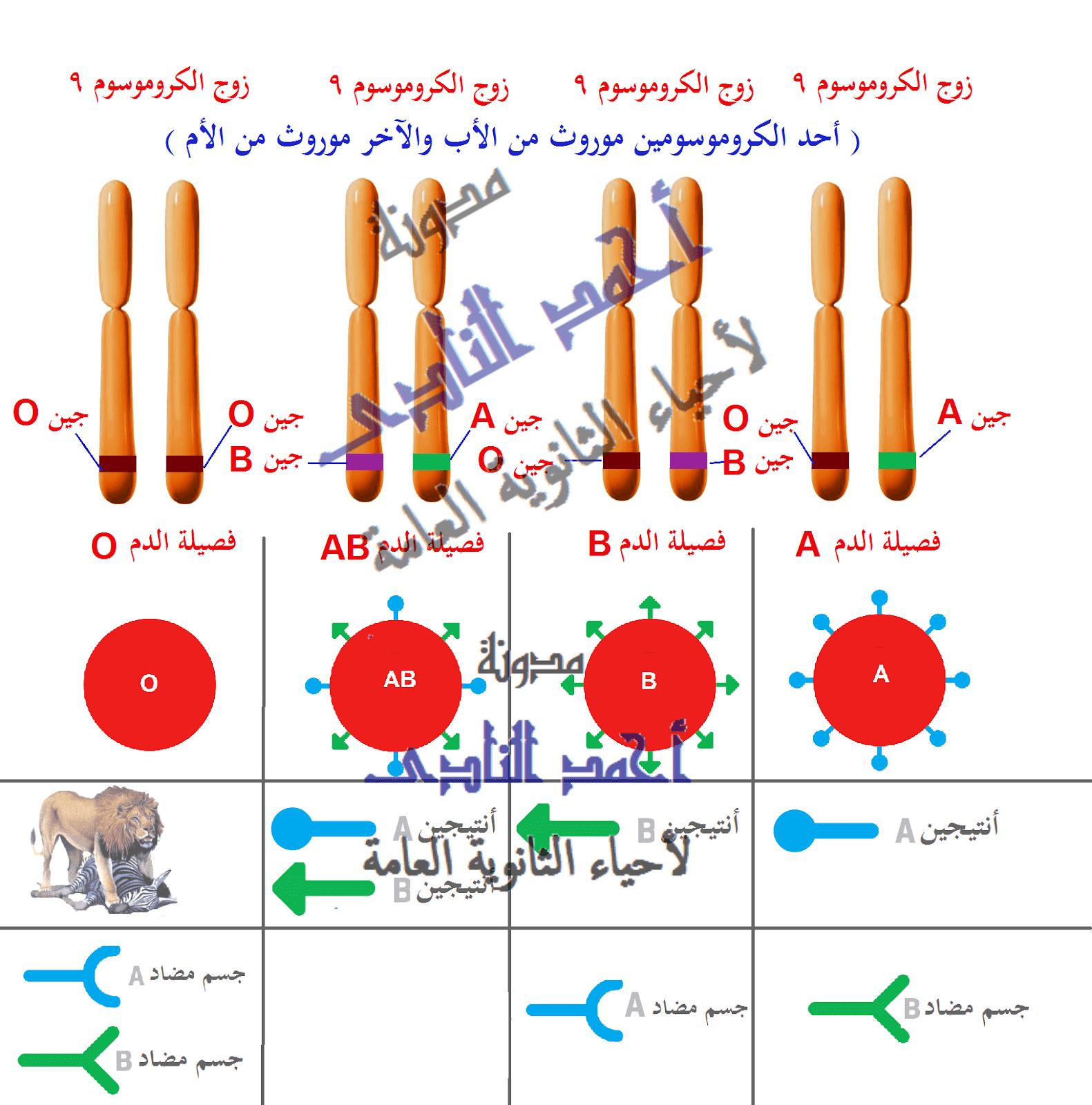 فك شفرة الجينوم البشرى GENOME   -  الحمض النووى DNA  - فصائل الدم - أحياء الثانوية العامة – مدونة أحمد النادى