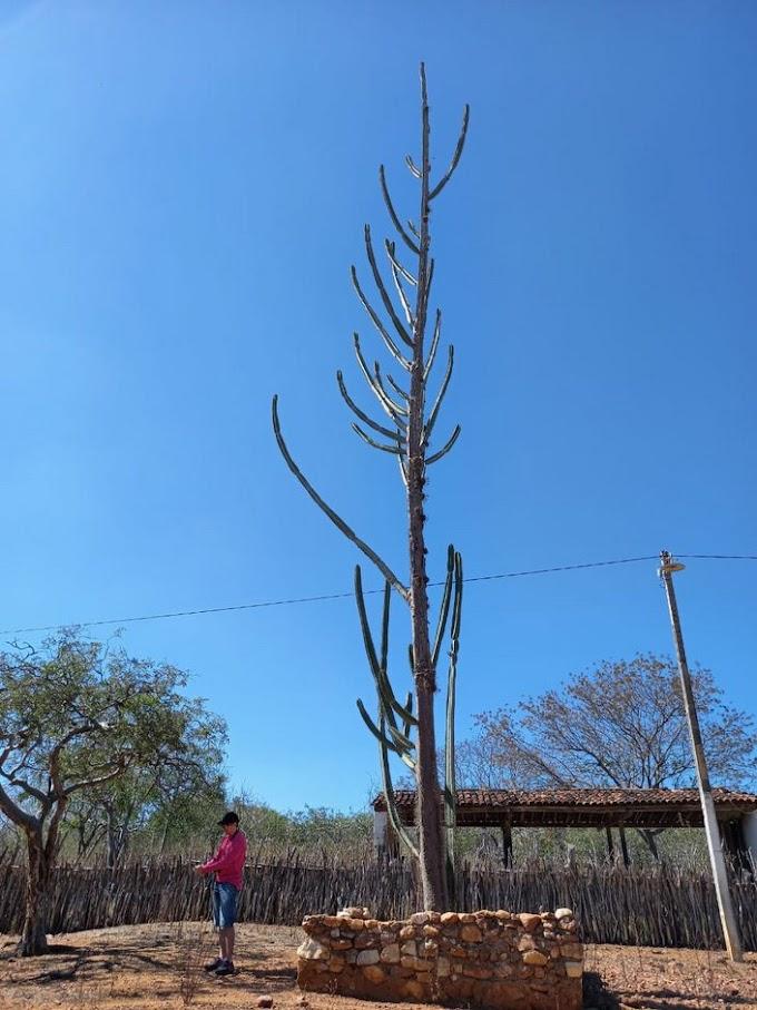 Maior mandacaru do mundo pode estar em Santa Cruz do Capibaribe