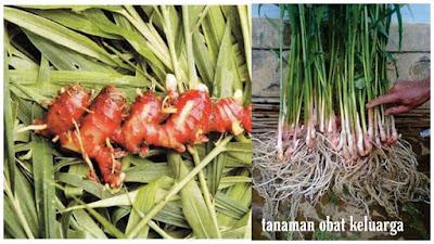 Manfaat dan khasiat tanaman toga untuk keluarga