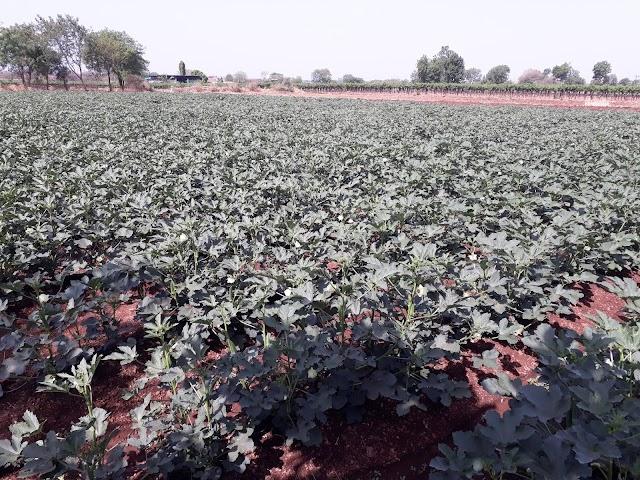 bhendi lagvad ani vyavasthapan,okra planting agriculture