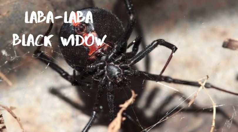 laba-laba black widow