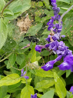 Lynx spider with spiderlings