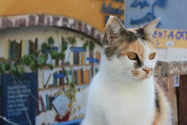 santorini bookstore cat
