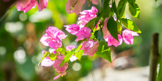 Bougainvillea plant not flowering - Quick tips to boost blooming on Bougainvillea plant