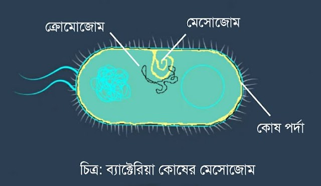 মেসােজোম (Mesosome) কি | মেসােজোমের কাজ কি | মেসোজোম কোথায় দেখতে পাওয়া যায় | মেসোজোমের গঠন