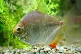Jenis Ikan Piranha Metynnis Argenteus