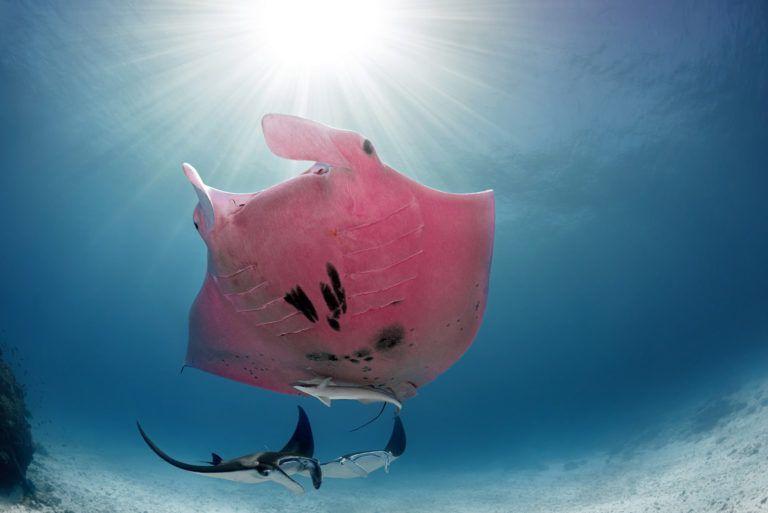 Розовый скат