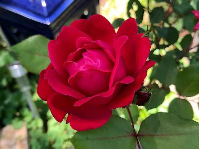 Rose Bloom closeup