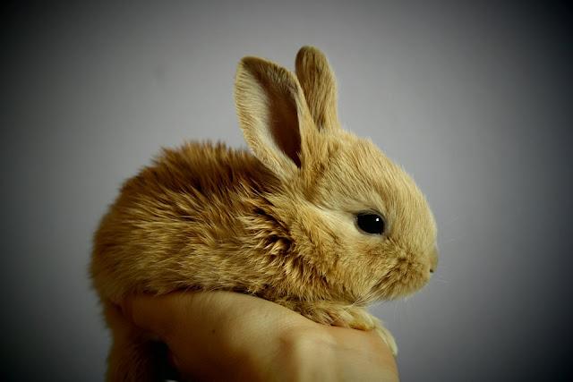 Manajemen pakan kelinci yang baik sangat penting untuk memulai usaha di bidang pertanian Manajemen Pakan Dalam Peternakan Kelinci