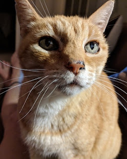 Close-up of ginger-colored cat