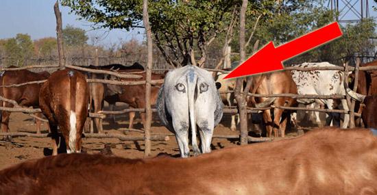 Descoberta - Pintar Grandes Olhos em Traseiros de Vacas pode salvar suas vidas - Capa