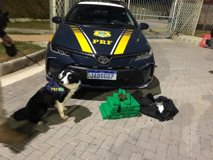 GRAVATAÍ   PRF prende traficante e apreende maconha em ônibus com ajuda de cães farejadores
