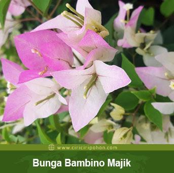 ciri ciri pohon bunga bougenville bambino majik