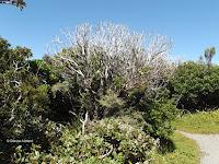 Possum-killed shrub - Mount Taranaki trail, New Zealand