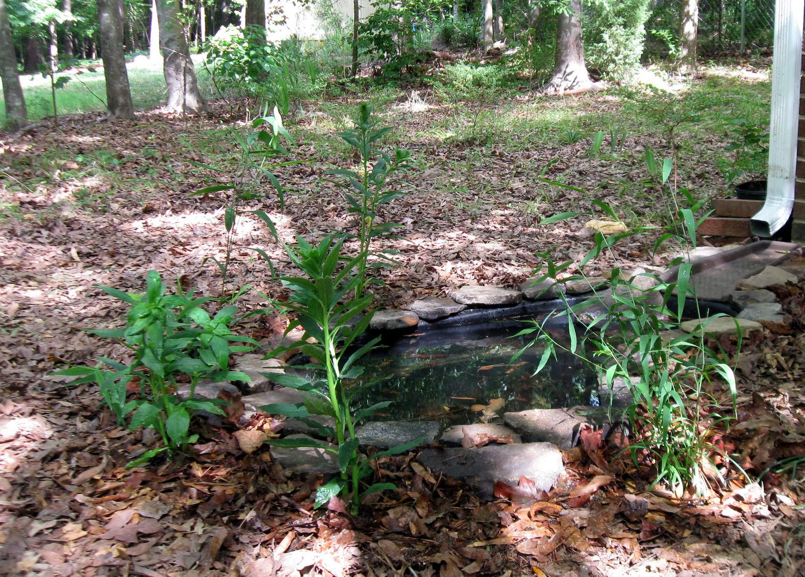 Backyard Nature: Front Yard Pond in Progress on Front Yard Pond  id=46114