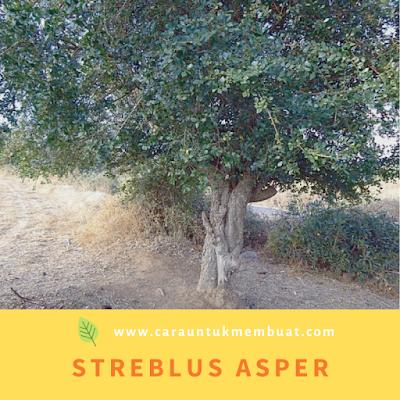 Streblus asper